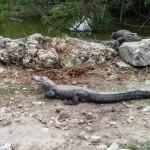 un alligator à la ferme des alligators dans les Everglades