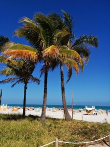 cocotiers sur la plage de Miami Beach