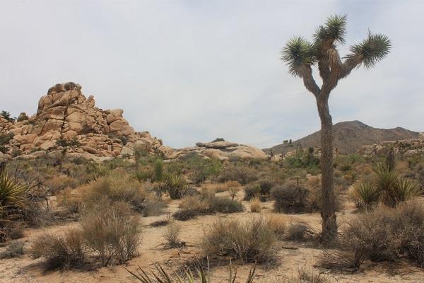 Joshua tree dans le désert