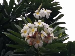 bouquet de fleurs plumeria