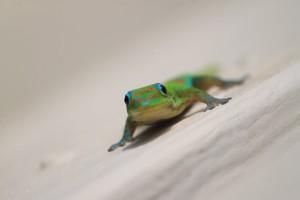 partie Est de Big Island Hawaii Gecko
